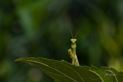 Praying Mantis, Luberon