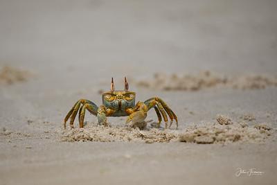 Horned Ghost Crab, Mafia Island