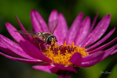 Hoverfly, Dorset