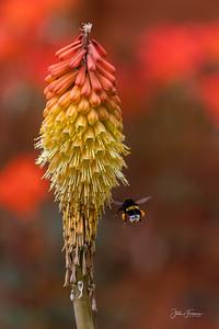 Buff-rumped Bumble Bee, Hampshire