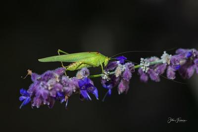 Grasshopper, Luberon