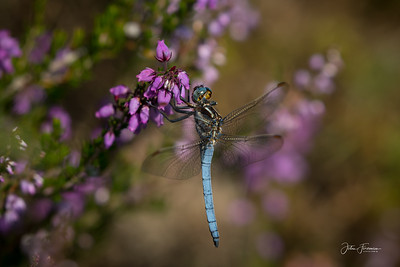 Male Keeled Skimmer, New Forest