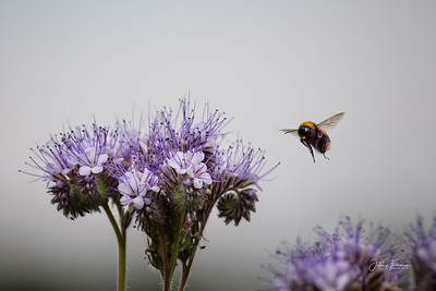 Garden Bumblebee, Suffolk