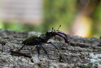 Stag Beetle, Gers