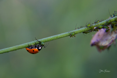 Ladybird and Aphids, Suffolk