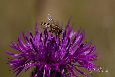Marmalade Hoverfly, Dorset