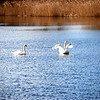 Nice to see the swans around. Seems to us that there are more than usual for this time of the year.