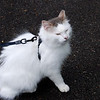 Ide's cat, on leash to protect all the dogs from a feline assault!