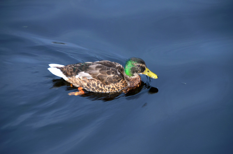 More of Mary's duck friends. The relations in Drumsna must have sent on a communication to the Logh Key duck community!