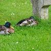 Ducks everywhere...