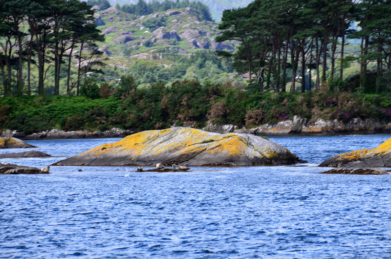 Seals abound on the rocks just off Ship Island at the entrance to Glengarriff Bay. Locals told us that whereas the seals are familiar with the regular visitor boats they can be disturbed by the sound of an outboard that they do not recognise!
