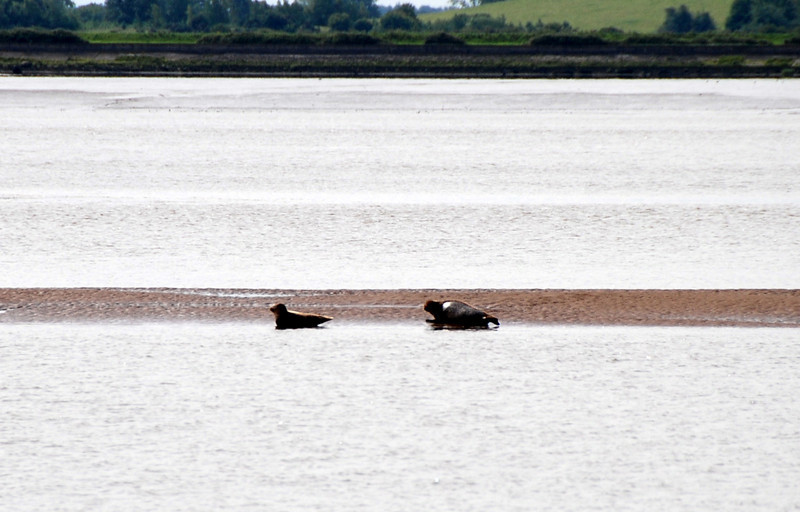 Seals on a sandbank north of Shannon Airport...