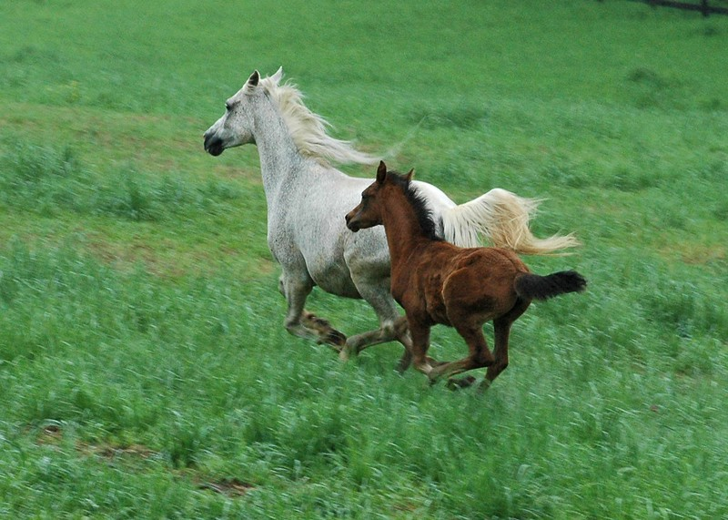 This foal's movements are synchronized with her mother's