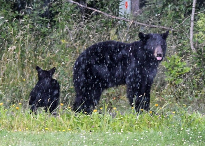 Bears in our Front Yard!