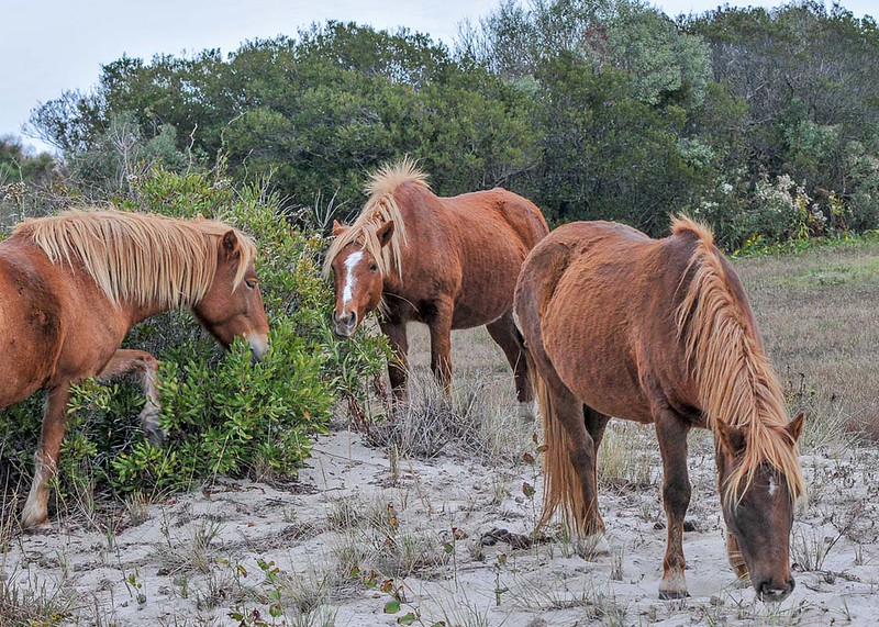 Feral Chincoteage Ponies foraging together in a social group