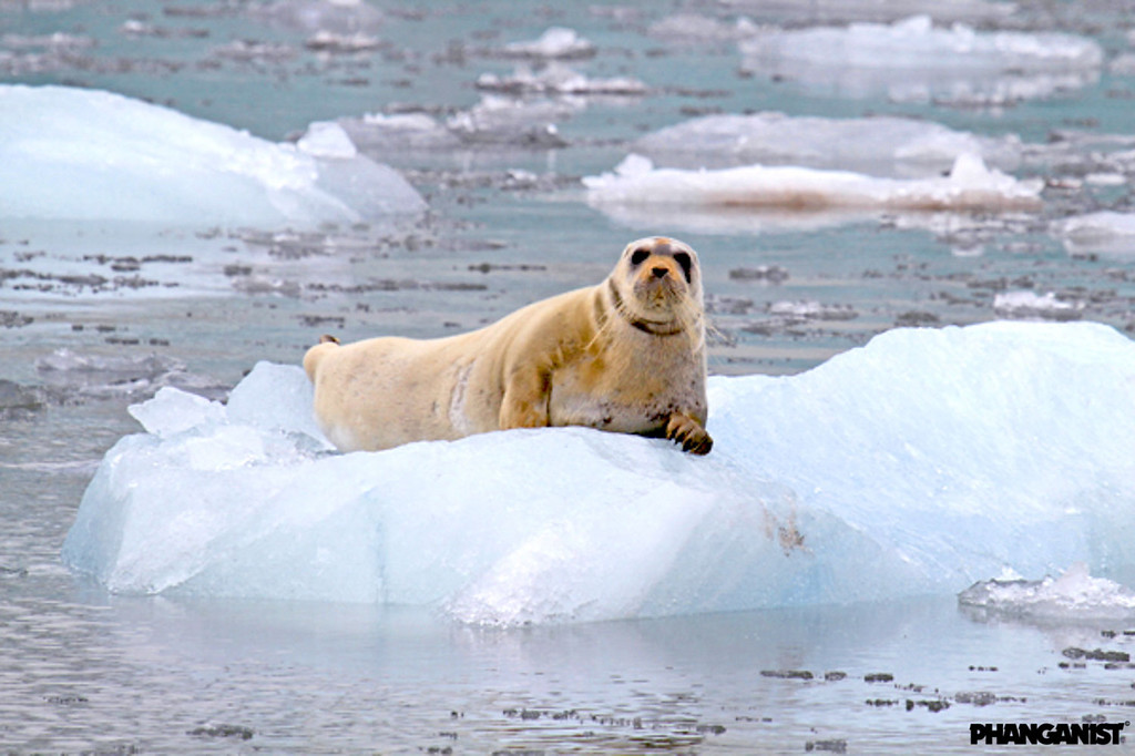 Young bearded seal at Esmark glacier Svalbard Norway