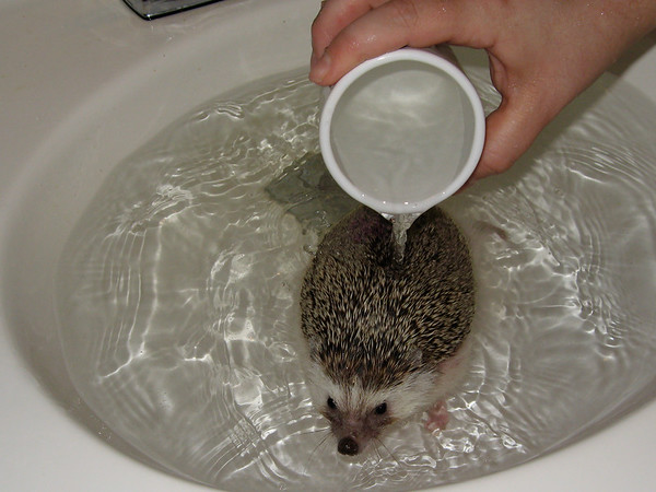Bathing Hedgehogs