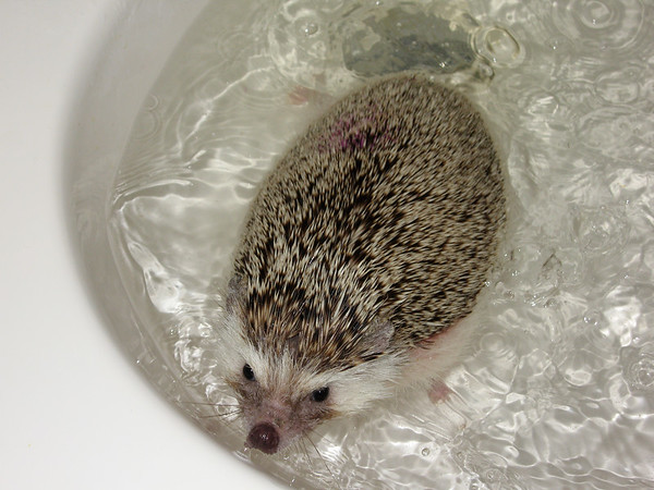 Hedgehogs Can Swim!