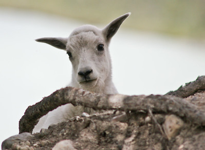 Mountain Goat Lamb