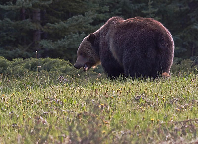 Two weeks earlier, near Lake Louise, a big grizzly bluff charged me!  Another experience that will stay with me forever. Fortunately he was on the other side of the fence that runs along the Banff highway.