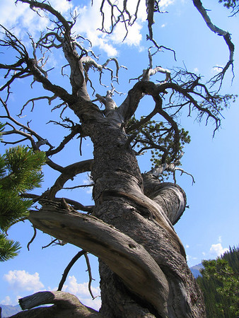 A highlight of Whirlpool Point is found right on the bank of the river, an ancient limber pine that is one of the oldest trees in Alberta. The tree is estimated to be a thousand or more years old.