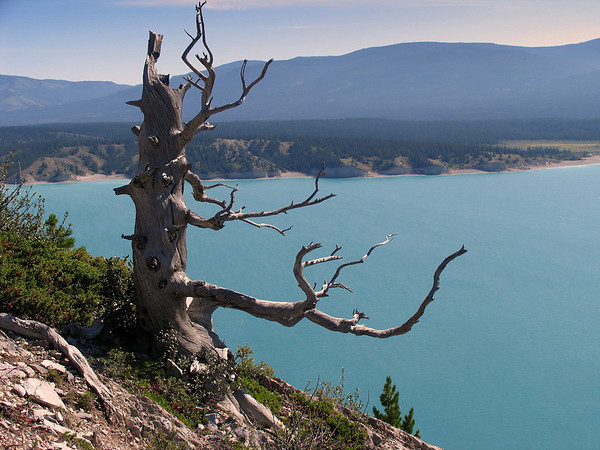 For thousands of years, the wind has come roaring down the valley and has stripped the soil and nutrients away from Windy Point Ridge.   The trees have twisted with the force of the wind and they cling to life in pockets of soil.