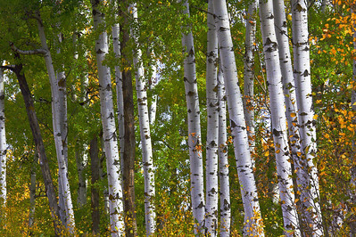The leaves were yellow and orange against a frieze of green and the smooth white bark of the aspens.  The vertical lines of the tree trunks carried me up from the ground and into the image with feelings of height, power and grandeur. And the light! It was that magical golden hour of sunrise when the light was soft and mellow, pumping up and saturating the colors.