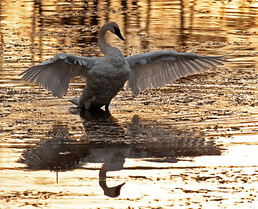 When a trumpeter swan is spreading her wings in the golden light of dusk, then it's time to seize the moment.