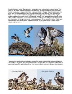 Ospreys of Monterey Bay