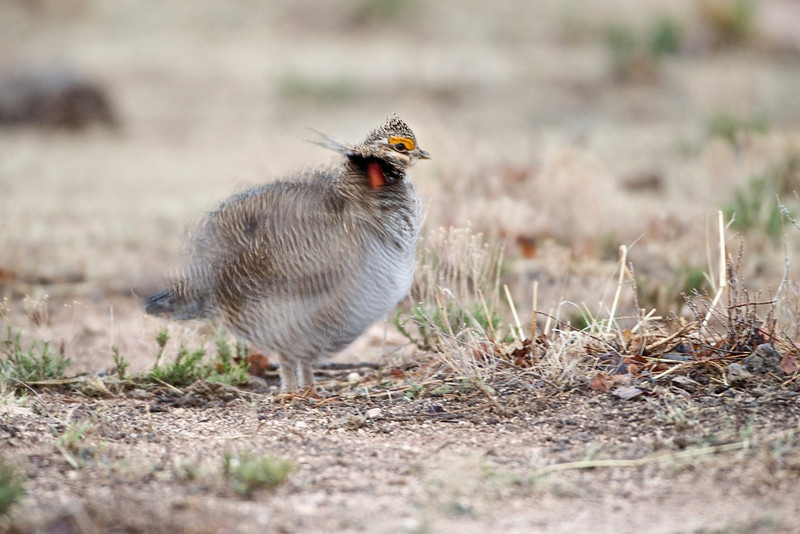 Lesser-Prairie Chicken Shaking - Milnesand, NM<br /> <br /> You can also give the feeling of action by using a longer exposure and blurring the action as this image shows.<br /> <br /> What's Different About Photography?<br /> <br /> What's different about photography than just about any other visual art form?  First, the technical challenges are quite extensive.  I've written before about how there don't appear to be any child prodigy photographers while every now and then we hear about one that plays for some national orchestra and they're only six years old.  Or, we hear about a rising star in the art world because some people think a 10 year old's paintings show off a youthful exuberance that hasn't been seen before... You don't hear these kinds of things happening with photography.  I attribute it to the technical challenges with photography you don't have to mess with in the other arts.  <br /> The trouble for us is the technical piece becomes more of the challenge to overcome than the artistic tasks like composition.  Don't let that happen.  Each of these tips can be used to a degree with the other visual arts.  The difference with photography the environment has just as much to do with obtaining the image as designed as you do.  The tip here is to put yourself in the best opportunity to capture something, then wait for nature to do its part.  Be ready, in other words.<br /> <br /> One Last Thing<br /> <br /> As with all rules, they can be broken.  Do not view these as never to be broken set of rules and standards.  No flogging will occur if you break one of these rules.  Still, not adhering to the rules for no apparent reason lends itself to a process with no thought behind it.  I won't get into it here but note as with any rule a good strong understanding of why a given rule exists is a sure ticket to breaking the rule with great effect when you want.<br /> <br /> Cheers<br /> <br /> Tom
