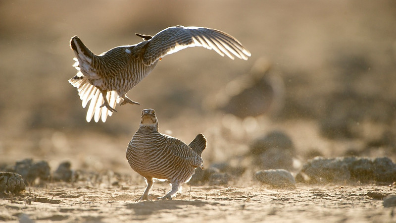 Lesser Prairie Chicken Fight #2