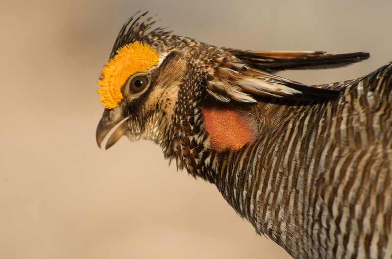 Lesser Prairie Chicken Portrait #5 - Milnesand, NM<br /> <br /> Rule Of Thirds<br /> <br /> Generally, every image has a subject.  This is the primary reference for the image.  It's the item where you want your viewer's eyes to be drawn to when they see you're image.  In general, you want this to be at what some people call the Power Position.  What this is is the intersection of lines drawn on your picture dividing it into 1/3 sections.   In this case the bird's eye is at the upper left power position.  As a general rule, the eye's are generally the focus of your image--i.e. the subject--and therefore should be at one of the power positions.