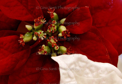 White and red poinsettias.
