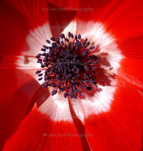 Red poppy, San Francisco.