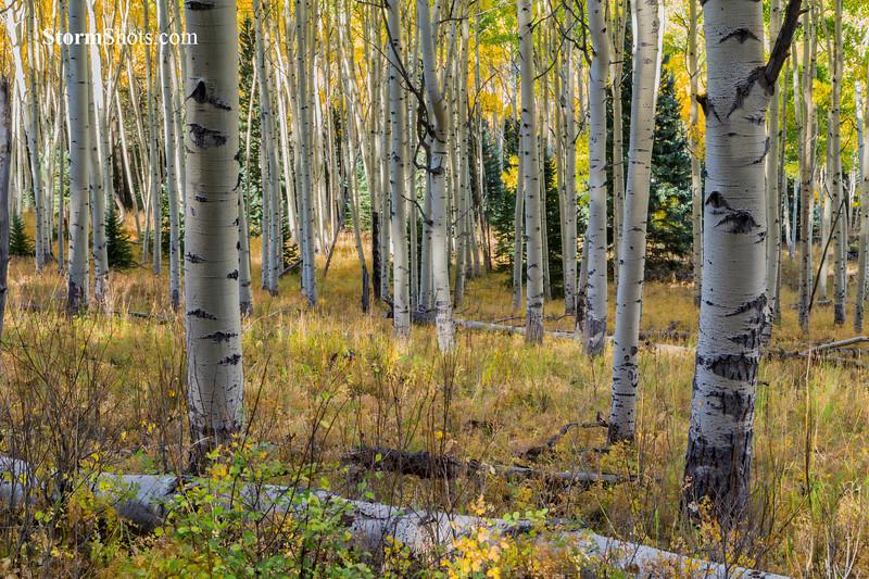 Aspen Forest - Last Dollar Road - Ridgeway Colorado