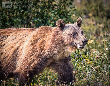 Grizzly in town