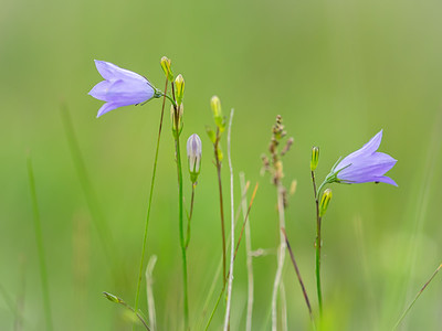 The Harebell ladies