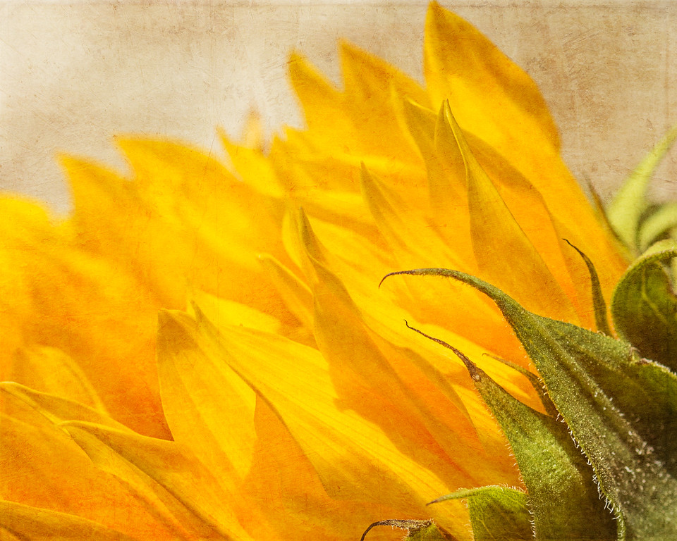 Sunflower, up close & personal