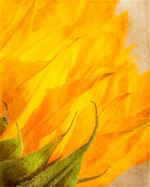 Sunfower petals