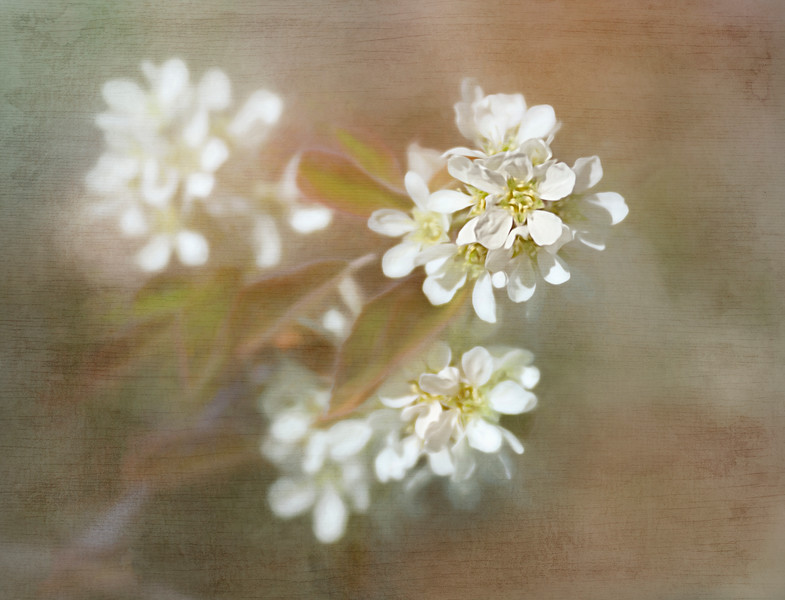 Saskatoon blossoms… usually our first blooms on the Prairie in the spring.  Added a few textures in Topaz Studio, always fun to play arouund in there..<br /> 03/07/19