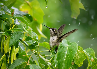 Hummingbird bathing in the sprinkler