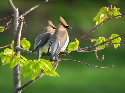 Mr. & Ms. Cedar Waxwing by janet