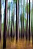 Longleaf Pines II