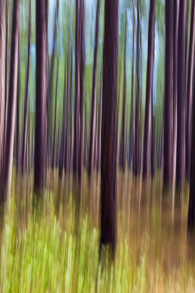 Longleaf Pines IV