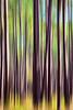 Longleaf Pines III