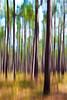Longleaf Pines I