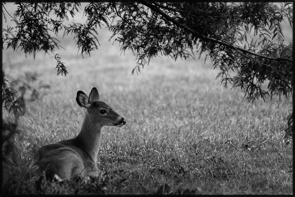 Deer out of the rain