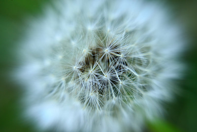 Dandelion (close up)