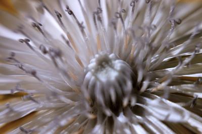 Infrared Dandelion