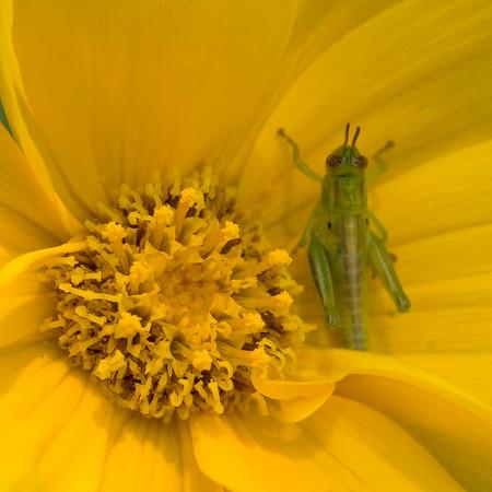 Cropped grasshopper_0043